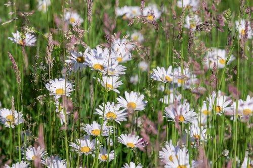 デイジーの花