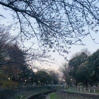 善福寺川の桜2020