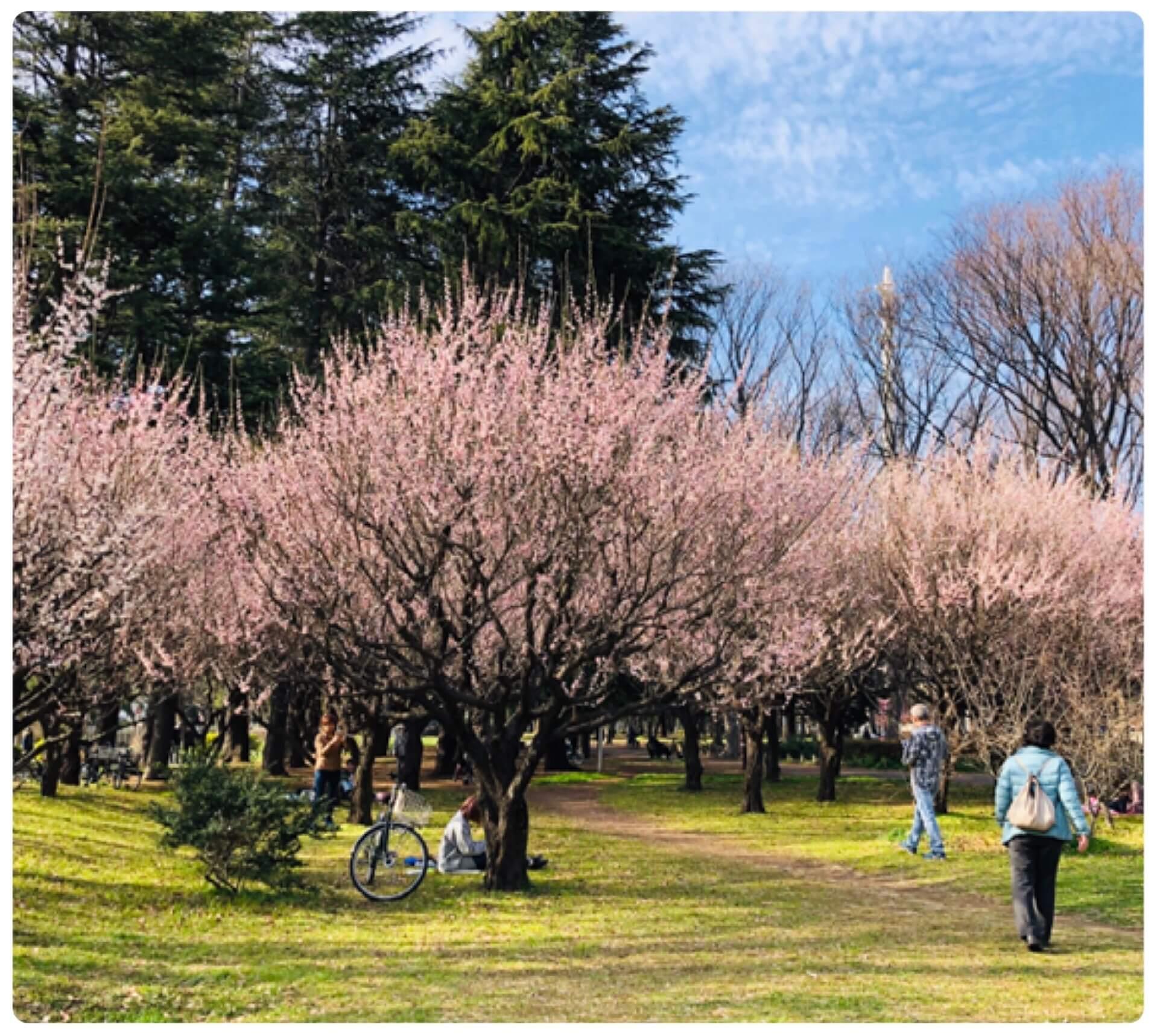 善福寺川の河津桜